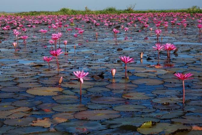 Morze czerwonych lotosów. Talay Bua Daeng. Tajlandia